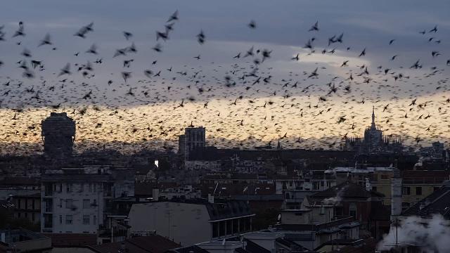 La danza degli storni nei cieli di Milano, il videomaker cattura l'attimo perfetto
