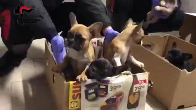 Traffico Di Cani Sequestrati 24 Cuccioli A Reggio Emilia