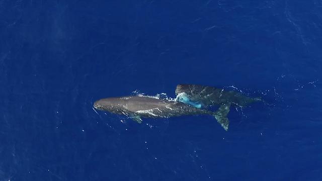 Il cucciolo di balena svezzato nel Mar Ligure, filmato per la prima volta