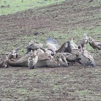 Come in un documentario, il pasto dei grifoni sull'altopiano di Campeda