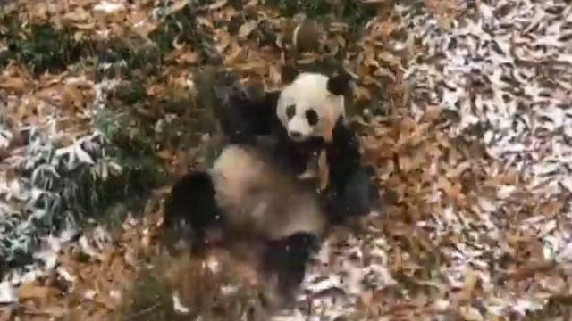 Usa, corse e capriole a non finire: il panda gigante scopre la neve