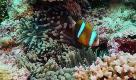 """Australia: la grande barriera rinasce grazie al """"trapianto"""" di coralli"""