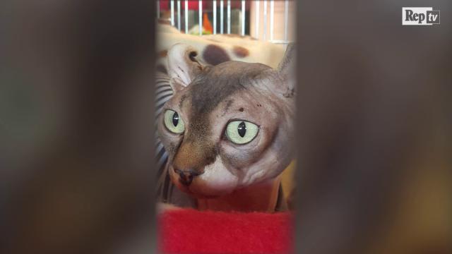 Padova: all'Esposizione Felina arriva Bamby, il rarissimo gatto 'elfo'