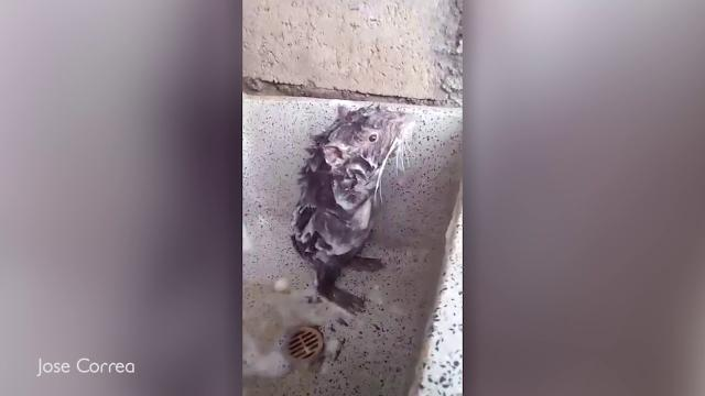 La verità triste sul topo che si fa la doccia