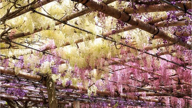 La primavera nel mondo: migliaia di turisti alla scoperta dei giardini fioriti