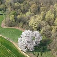 Brianza, lo spettacolo della fioritura del ciliegio secolare ripresa dal drone
