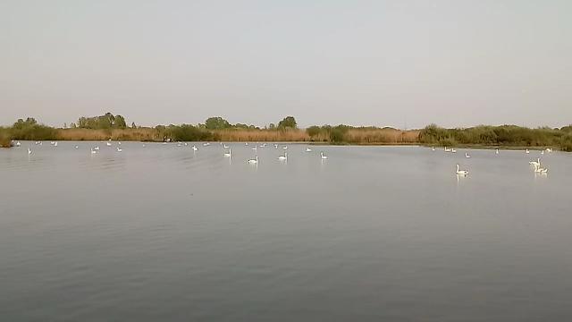 Valli del Mincio, i cigni si danno appuntamento per nuotare insieme