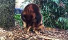 Australia, prova a saltare ma non ci riesce: il primo tentativo del baby canguro
