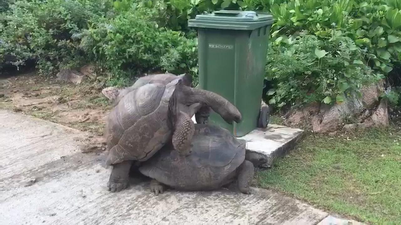 Le tartarughe giganti delle seychelles in amore for Tartarughe in amore