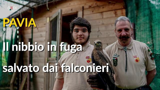 Pavia, la favola del nibbio salvato dai falconieri