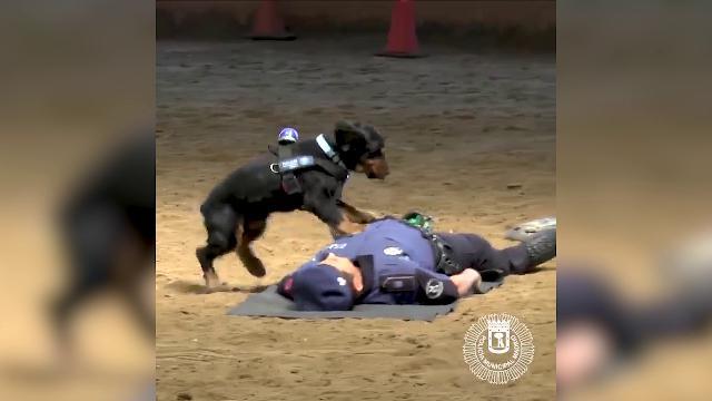 Madrid, il cane poliziotto è una star: fa il 'massaggio cardiaco' all'agente