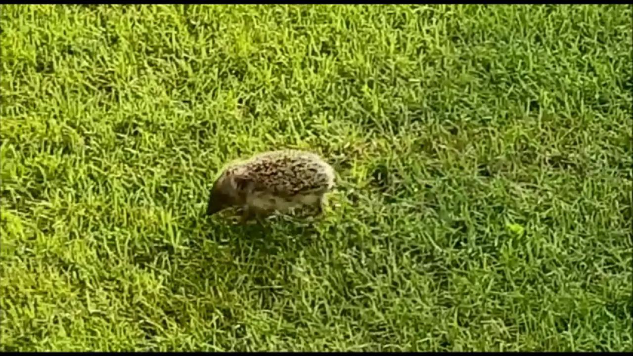 Il cucciolo di riccio in perlustrazione nel giardino - Riccio in giardino ...