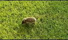"""Il cucciolo di riccio in """"perlustrazione"""" nel giardino"""