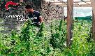 """Roma, arrestato custode dal """"pollice verde"""": coltivava marijuana nel giardino sotto casa"""