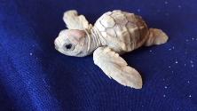 Calabria, si schiudono le uova di Caretta Caretta: a sorpresa c'è una tartaruga albina