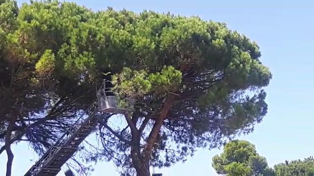 Pappagallo fugge, pompieri lo recuperano su un albero