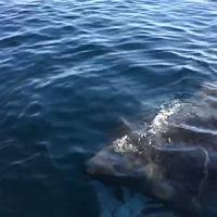 Porto Ottiolu, incontro ravvicinato con uno squalo elefante