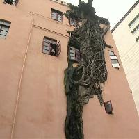 Cina, l'albero si fonde con il palazzo: i rami squarciano l'edificio