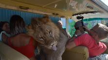 """Crimea, il leone sale sull'auto dei turisti: """"Cerca solo un po' di coccole"""""""