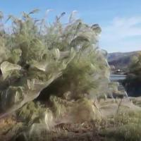 Ragnatela gigante ricopre la costa di Aitoliko in Grecia