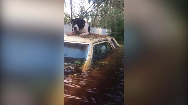 Usa, cane resta bloccato per giorni sul tetto di un'auto dopo l'uragano: il salvataggio