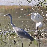 Aironi e spatole, dall'oasi di Persano uno spot di biodiversità
