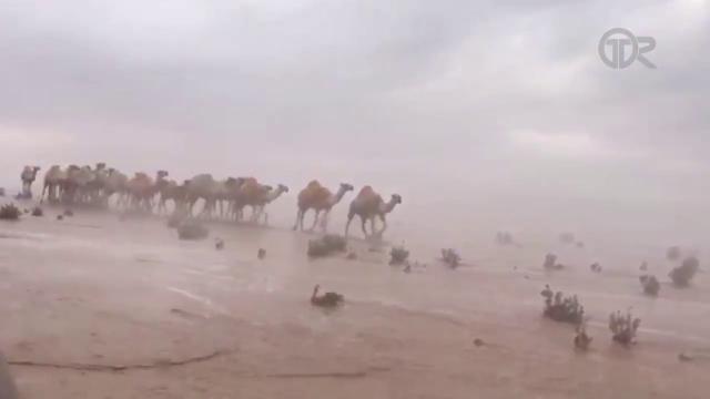 Alluvioni in Medio Oriente, anche il deserto è allagato: i cammelli camminano nel pantano