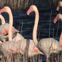 Feny Day, i fenicotteri rosa in un'osservazione speciale