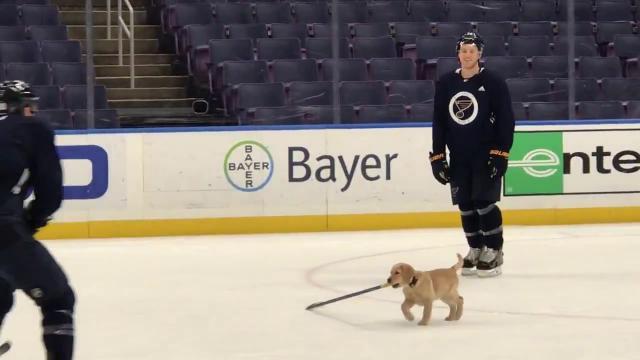 Usa, sorpresa sul ghiaccio: nel campo da hockey entra un cucciolo di labrador