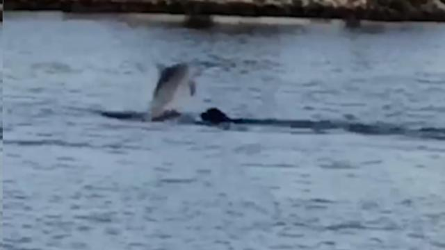 Australia, insolita amicizia in acqua: il delfino gioca col labrador