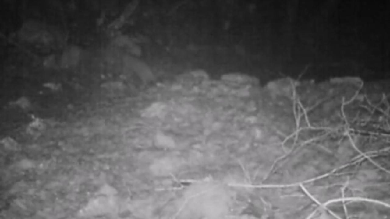Il Gatto Selvatico Appare Nel Parco Dei Monti Aurunci Il Video