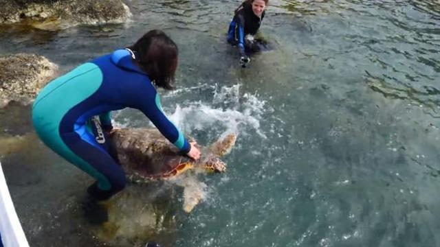 Grosseto, ferita da un amo da pesca, torna in mare la tartaruga Olivastra