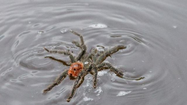 Anche le tarantole, nel loro piccolo, nuotano… Questo video sta facendo il giro del mondo