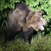 M49, l'orso ricercato: la cattura prima della fuga dal recinto