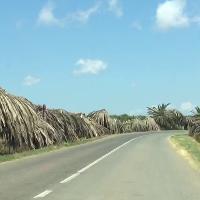 Is Aruttas, prima della bellissima spiaggia lo spettacolo indegno delle palme rinsecchite