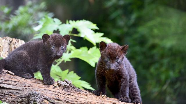 Parco delle Cornelle, nati due cuccioli di pantera: il contest su Facebook per scegliere il nome