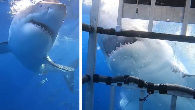 """Incontro (troppo) ravvicinato con il grande squalo bianco: l'attacco alla """"gabbia"""" è da brividi"""