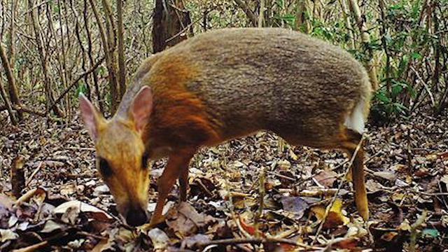 """Il """"cervo-topo"""" non è estinto: ecco le straordinarie immagini catturate in Vietnam"""