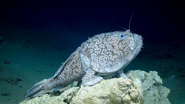 Golfo del Messico, scoperta nelle profondità dell'oceano: il pesce può camminare sulle sue pinne