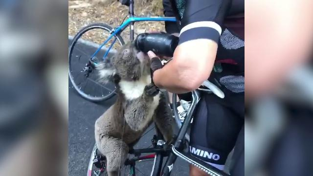 Australia, il koala scappa dagli incendi: beve acqua dalla borraccia della ciclista