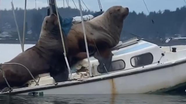 Due giganteschi leoni marini occupano una barca e si fanno un riposino