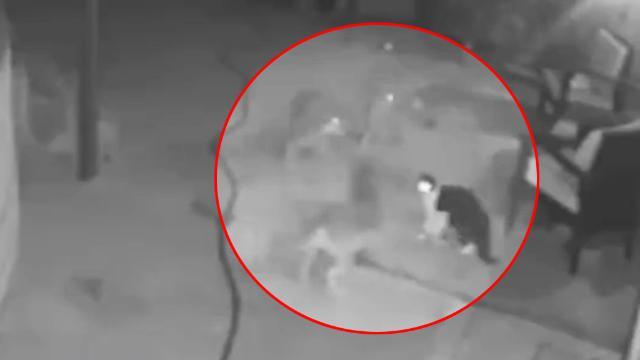 Il gatto viene circondato da tre coyote nel cortile di casa e li mette in fuga