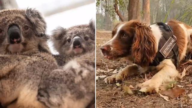 Australia, il cane eroe che salva i koala dagli incendi