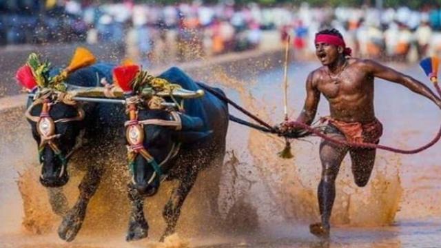 """L'indiano """"che corre veloce come Bolt"""": nel fango con i buoi Srinivas Gowda fa 142 metri 13,6"""""""