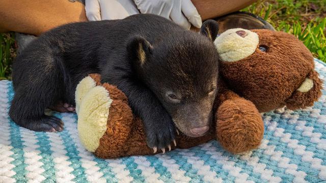 L'orsetto rimasto orfano ha aperto gli occhi e sta bene