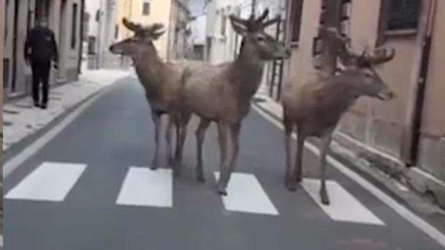 Abruzzo, il paese è deserto: i cervi si impossessano della strada