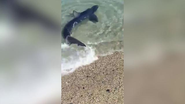 Soverato, squalo azzurro nuota a pochi metri dalla riva