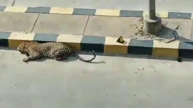 India, c'è un leopardo in strada: traffico paralizzato