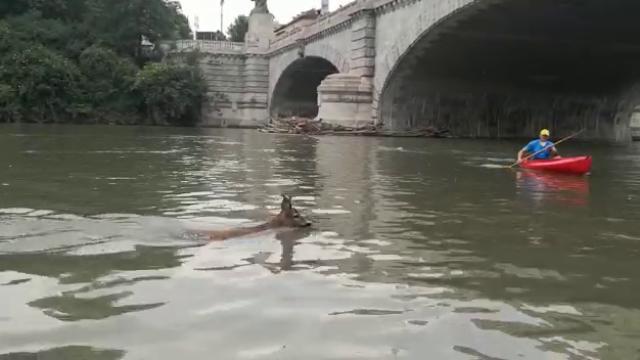 """Il mistero del capriolo che nuota nel Po: """"Abbiamo provato a salvarlo, ma si è ributtato nel fiume"""""""