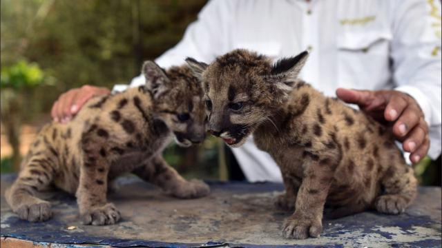 Coronavirus, ecco i due rari cuccioli di puma nati in Messico: si chiamano Pandemia e Quarantena